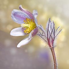 Pulsatilla vernalis (BirgittaSjostedt.) Tags: wild plant flower spring pattern bright blossom outdoor pastel serene rare pulsatilla ladyofthesnows pulsatillavernalis springpasqueflower arcticviolet birgittasjostedt