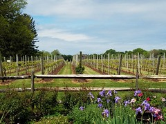 Beautiful day at the vineyard. (CabbyCam) Tags: flowers trees iris sky sunlight green nature grass lines fence outside vineyard spring vines purple wine outdoor pennsylvania peaceful grapes shrubs buckscounty stakes