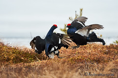 Black grouse (andrea.marzorati) Tags: black cold bird finland north grouse