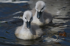"""""""and Nico leads Lewis as they enter the first corner.."""" (paulinuk99999 - just no time :() Tags: park london spring swan babies wildlife may surrey cygnets bushy 2016 paulinuk99999 sal70400g"""