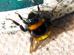 Don't Bee Nervous (Alan FEO2) Tags: black yellow insect outdoors flying wings legs sting bee honey arthritis hive antennae beeswax melittin histimine 2oef