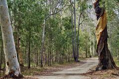Australian 'bush' (Tatters ) Tags: forest 50mm path australia bushwalking eucalyptus gumtree oloneo