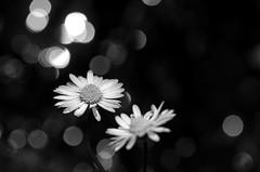 light & daisy (simona.photo) Tags: flowers light blackandwhite nikon ste d7000 tamron90mmf28dimacrovcusdf2004