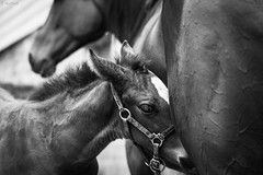 bond (Jen MacNeill) Tags: blackandwhite bw horse baby animal spring mare colt thoroughbred equine foal littledoglaughednoiret