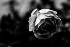 (martinnarrua) Tags: nikon nikond3100 argentina amateur coln entre ros blanco negro black white bn bw byn monocromtico afs3518gdx 35mm f18 flor flower nature naturaleza