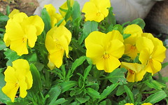 IMG_3925Tr Yellow Violas (jgagnon63@yahoo.com) Tags: flowers home yellow spring may springflowers uppermichigan violas escanaba domesticflowers flowersofescanaba