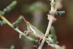 جندب grasshopper (mosa3ad alshetwi) Tags: travel macro tree green nature insect natural insects grasshopper desart حشره اخضر طبيعه ماكرو السعوديه جندب حشرات القصيم رمث