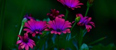 Flowers...70's neon style (R.A. Killmer) Tags: pink flowers light vacation green nature beauty evening neon glow purple violet run honey