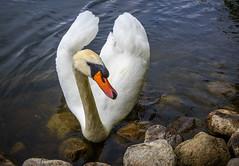 Feed Me (dietmar-schwanitz) Tags: birds animals tiere swan vgel schwan lightroom mecklenburgvorpommern mritz waren mritzeum dietmarschwanitz nikond750 nikonafsnikkor24120mmf40ged