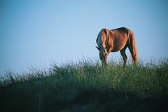 Horse Grazing (nateblais) Tags: horse wildhorses
