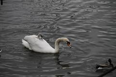 _MG_6878 (Mitya Adamsky) Tags: boat brentford swan cygnets