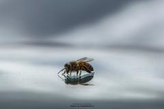 Parallel Dimensions II (Fredrik Lindedal) Tags: bee honeybee reflection nikon fredriklindedal onewithnature macro monday macromondays anythinggoes