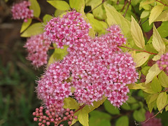 DSC00687 (gregnboutz) Tags: flowers flower macro macros springflowers brightflowers pinkflowers macroflowers macroflower bloomingflower bloomingflowers colorfulmacros