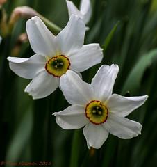 Narcissus tazetta (Timo Halonen) Tags: nikon zoom nikkor fx 70300mm narcissus dx tazetta tasetti d5200