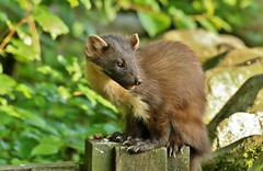 mum............... (Suzie Noble) Tags: tree fence garden mammal pinemarten mustelid strathglass struy pinemartenkit pinemartenkits