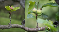 USA_6638 (Weinstckle) Tags: apfel apfelblte apfelbaum frucht garten