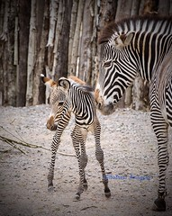 The Mum & her 1 day old baby at Marwell Wildlife today. (Albatross Imagery) Tags: cute beautiful flickr gorgeous newborn zebra marwell foal cuteanimals zebrafoal marwellwildlife