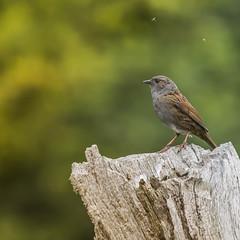 Dunnock (chris.brundle) Tags: nature birds dunnock smallbirds ukwildlife ukbirds