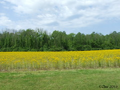 Butterweed (Picsnapper1212) Tags: plant nature weed scenery farming scenic agriculture nonnative butterweed