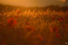 summer (Sandra Bartocha) Tags: summer field sommer poppies summertime lastlight poppyfield csandrabartocha