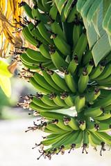 Bananas Growing (djking) Tags: tree green mexico jalisco bananas bunch zapotlanejo