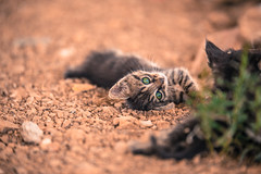 Hey kitty (Vagelis Pikoulas) Tags: summer pet playing animal june cat canon kitten dof bokeh greece plays tamron vc 6d 70200mm vilia