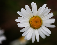 Wild Flowers (lee_barrett007) Tags: macro canon loughborough leicestershire