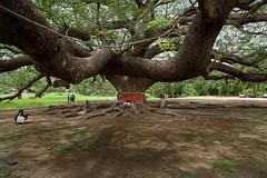 The giant rain tree (@pigstagram) Tags: giant kanchanaburi raintree