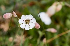 Silne enfl (ijmd) Tags: fleur flower france macro bretagne ledebatz