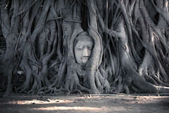Head of Buddha statue in the tree roots at Wat Mahathat (Temple of the great relics), Ayutthaya, Thailand. (Gos Eye View) Tags: park old travel sunset sculpture tree art monument face statue stone closeup sunrise asian thailand religious temple sand ancient sandstone worship asia image head expression decorative buddha buddhist faith prayer religion pray culture peaceful buddhism landmark historic serenity sacred historical meditation root spiritual wat relic ayutthaya mahathat