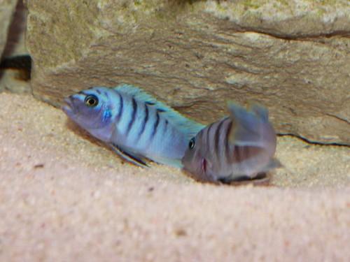 Cynotilapia sp. 'hara' Gallireya Reef