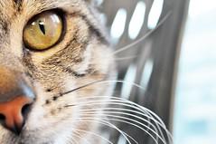 Aki (Aria92) Tags: italy cats detail eye cat nose eyes nikon italia details kitty whiskers occhi akira dettagli noses mustache aki gatto pesaro occhio pussycat gatti muzzle nasi naso micio muso dettaglio baffi baffo thechallengefactory aria92
