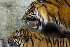 Liebeserklärung (funk_explosion) Tags: berlin friedrichsfelde tiger tierpark zoologischergarten alfredbrehmhaus minoltaaf100400mm