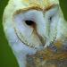 Barn Owl NottsWT (cpt Darin Smith)