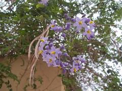 Flor lila (patriciamura) Tags: chile flowers cactus flores flower tree nature garden arbol flora plantas blossom flor jardin lila botanic jardines copiapo solanum morada solanumwendlandii cochabambina worldflowers wendlandii