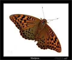 Mariposa....... Traicionera? (Miguel_Puze) Tags: nikon mariposa flick 2012 insecto d90 miguelpuze
