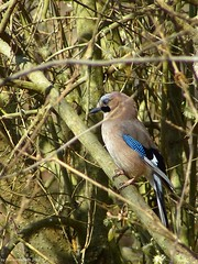 P1010744 (franco nadalin) Tags: natura panasonic ali uccelli volo animali eurasianjay piume ghiandaia fz150 garrulusglandarus franconadalin