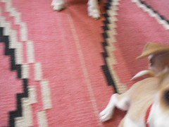 Hazel rolls over! (EllenJo) Tags: pet pets chihuahua dogs digital bostonterrier march video ivan olympus hazel floyd rollover digitalimages digitalimage march19 dogtricks chihuahuapuppy ellenjo ellenjoroberts