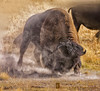 BRING IT ON! (Aspenbreeze) Tags: buffalo wildlife wildanimal wyoming bison rut tetonrange rutseason aspenbreeze tetonnationpark peregrino27life flickrstruereflection1 tpswildlife topphotoshots