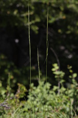 2011.07.16_13.20.04_IMG_4100 (AndreyZharkikh) Tags: columbiana stipa nelsonii achnatherum