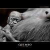 QUEMBO (Matthias Besant) Tags: animal animals mammal deutschland monkey tiere hessen gorilla ngc ape monkeys mammals apes fell tier affen primates silverback affe primat silberruecken hominidae primaten querformat saeugetier saeugetiere menschenaffen hominoidea trockennasenaffe menschenartige mygearandmepremium blinkagain blinkagainfrontpage bestofblinkwinners flickrstruereflection1 flickrstruereflection2 flickrstruereflection4 flickrstruereflection5 flickrstruereflection6 flickrstruereflection7 eltringexcellence flickrstruereflectionexcellence trueexcellence1 affenfell menschenartig affenblick highqualityanimals flickrsfinestimages1 flickrsfinestimages2 flickrsfinestimages3 bestofsuperstars rememberthatmomentlevel6 matthiasbesantphotography matthiasbesant blink4gallery