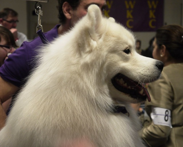 Westminster DOG SHOW_30