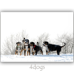 4dogs (dellafels) Tags: winter snow dogs till terry poppy abi entlebucher supershot dellafelspic