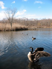 Greeting the Winter Sun (Eddie C3) Tags: nyc newyorkcity lake nature water canon geese community bronx social vancortlandtlake vancortlandtpark