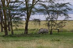 Lake Nakuru National Park (robsall) Tags: africa nature animal animals mammal kenya wildlife rhino nakuru riftvalley whiterhino eastafrica whiterhinoceros lakenakuru ceratotheriumsimum wildlifephotography grassrhinoceros robsall grassrhino