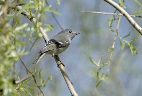 Ruby-crowned Kinglet - Sardis Park