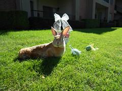 Scooter (tammybeck) Tags: rabbit bunny konijn conejo scooter rex coelho lapin kaninchen 2012 coniglio kani 兔 cwningen ウサギ kanin кролик królik zec κουνέλι thỏ iepure kuneho králík กระต่าย wwwrescuedrabbitsorg sungura wildrescue coinín קיניגל
