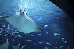 Ray under the Light (H.H. Mahal Alysheba) Tags: water animal aquarium stingray lumixg 20mmf17