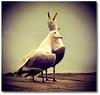 Amigos Para Siempre (Manin The Moon) Tags: sea seagulls bird love song gull sing cobb ie lymeregis screech sarahbrightman josecarreras couplepair fbdg
