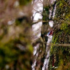 Eat or die (Sergei-P) Tags: light tree bird nature forest photoshop nikon sweden iso 1600 adobe 70200 sergei varberg lightroom 200mm halland cs5 d7000 pitkevitch